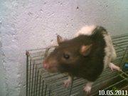 Крыса(мальчик).Срочно! Продам не дорого! Очень хороший крыс!!!!!!!!!!!