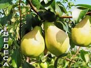 Саженцы плодовых деревьев,  Саженцы груш,  Саженцы Алычи,  Саженцы яблонь