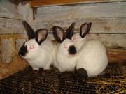 кролики самцы-производители  калифорнийцы