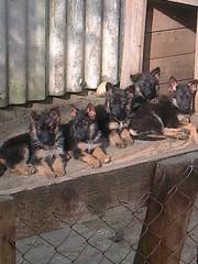 Немецкой овчарки щенки
